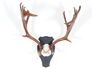 Swedish moose antlers